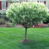 Pruning by Picture Perfect Lawn Maintenance Chesterfield VA (804) 530-2540